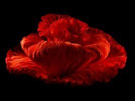 rose Flower Fashion Stills black backdrop